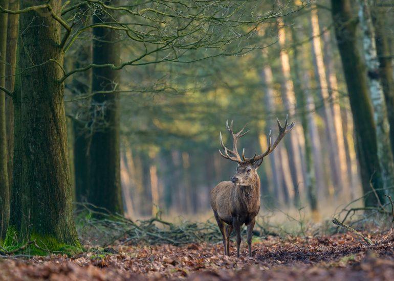 Edelhert in Nationaal park de Hoge Veluwe.