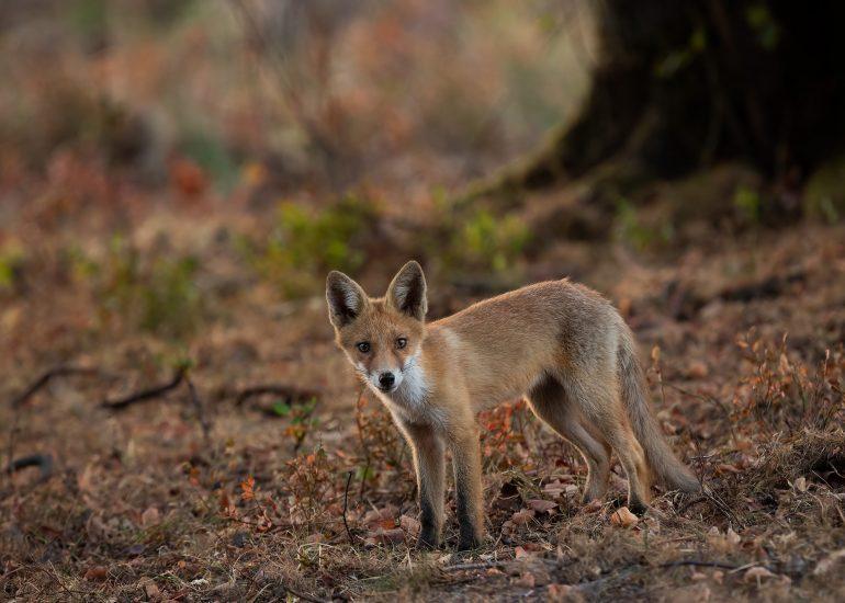 Jonge Vos - Nationaal park de Hoge Veluwe